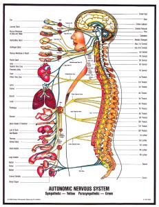 human-central-nerve-system 2